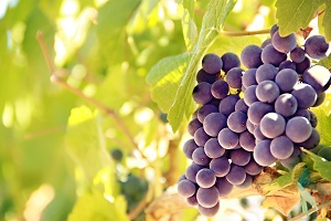 Rachel´s Vineyard